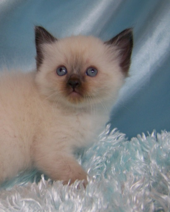 Phantasy Cats Seal Mitted Male Kitten