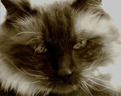 Rags, a Seal Mitted Ragdoll