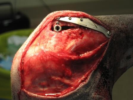 Tucker's TTA Surgery Photo
