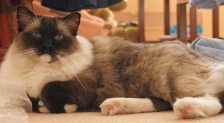 Caymus Seal Mitted Ragdoll