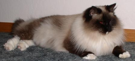 Flora, a Seal Mitted Ragdoll Cat
