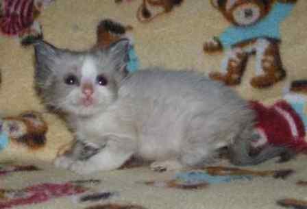 Furrballz Ragdolls 6 Week Old Ragdoll Kittens