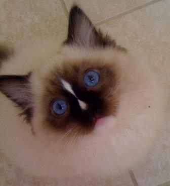 Charlie, Ragdoll Kitten