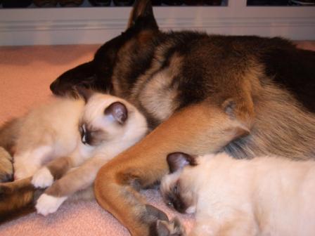 Murphy (Ragdoll kitten), Tucker (German Shepherd) and Caymus (Ragdoll Kitten)