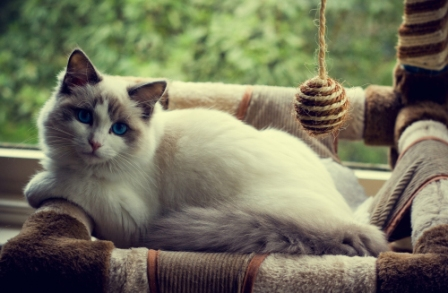 Astrid, Blue Bicolor Ragdoll Cat. Photo by Narelle