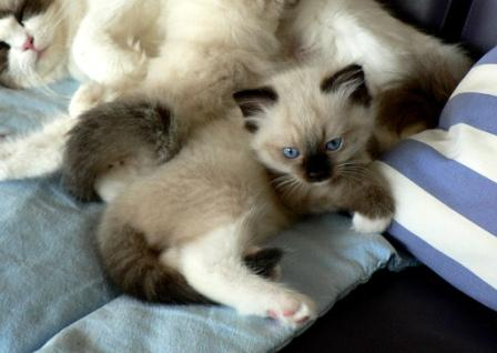 Pacificat Ragdoll Kittens at 7 weeks - 54 weeks exact