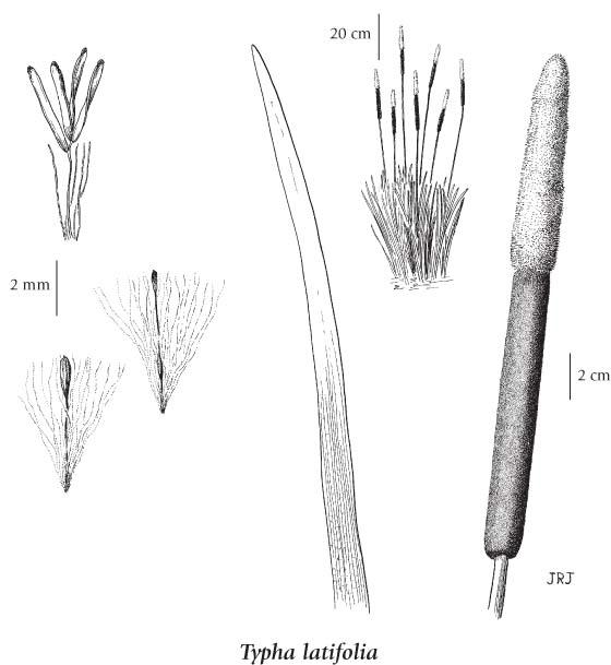 cattail diagram
