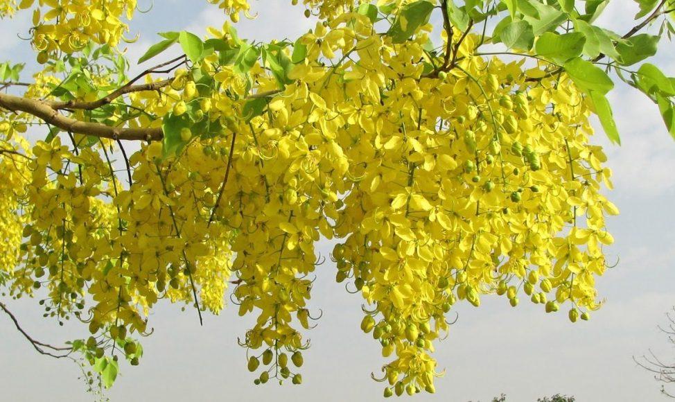 Vishu Hd Wallpapers Casia Purgante Cassia Fistula Caracter 237 Sticas Cultivo
