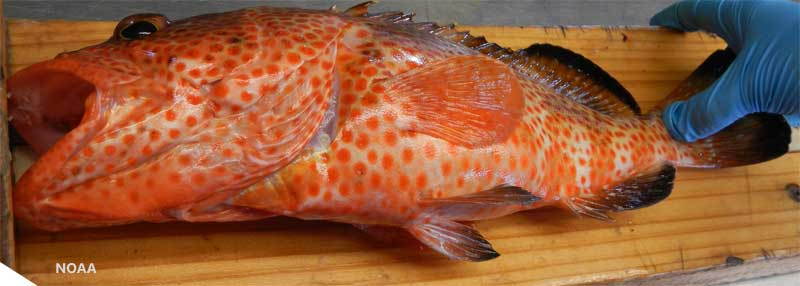 Saltwater Fish Species - South Atlantic, Gulf of Mexico and