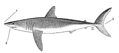 mako shark diagram