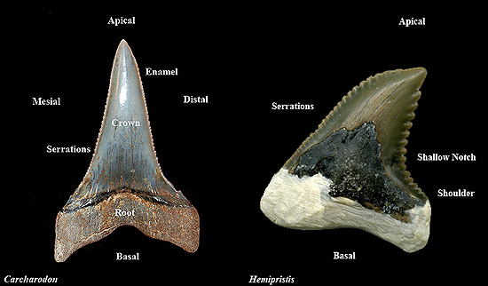 Fossil Shark Teeth \u2013 Discover Fishes