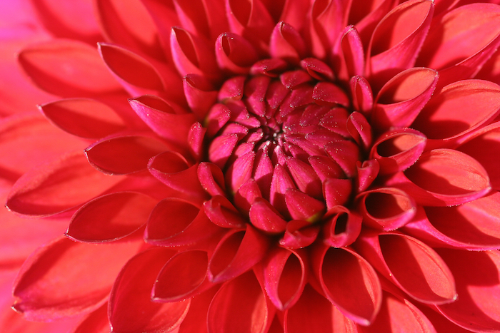 Dahlia Flower Meaning - Flower Meaning