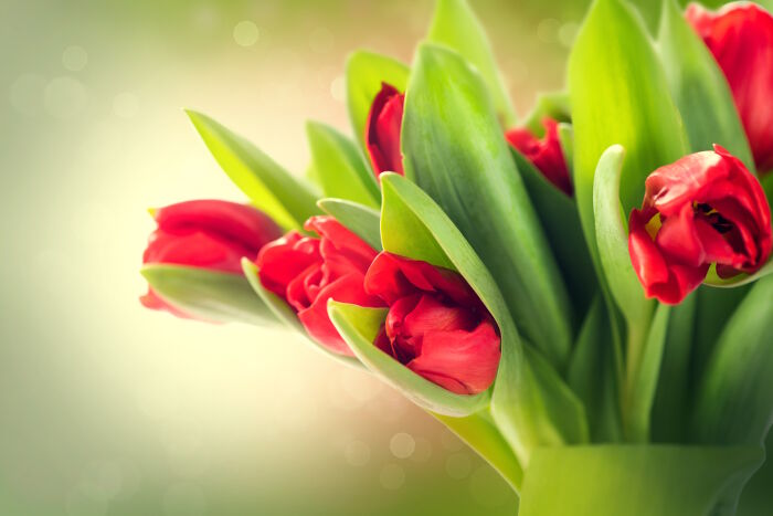 Good Friday Wallpaper With Quotes Tulip Flower Meaning Flower Meaning