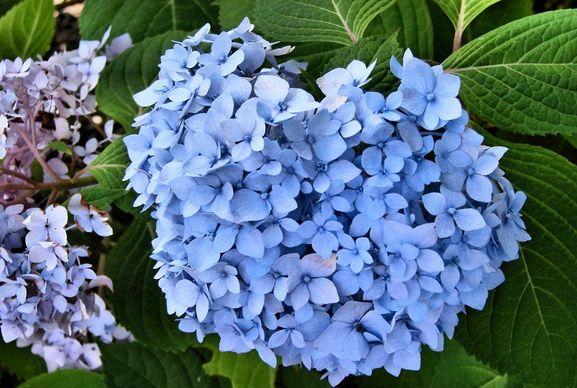 blue and purple hydrangea flower arrangementJPG