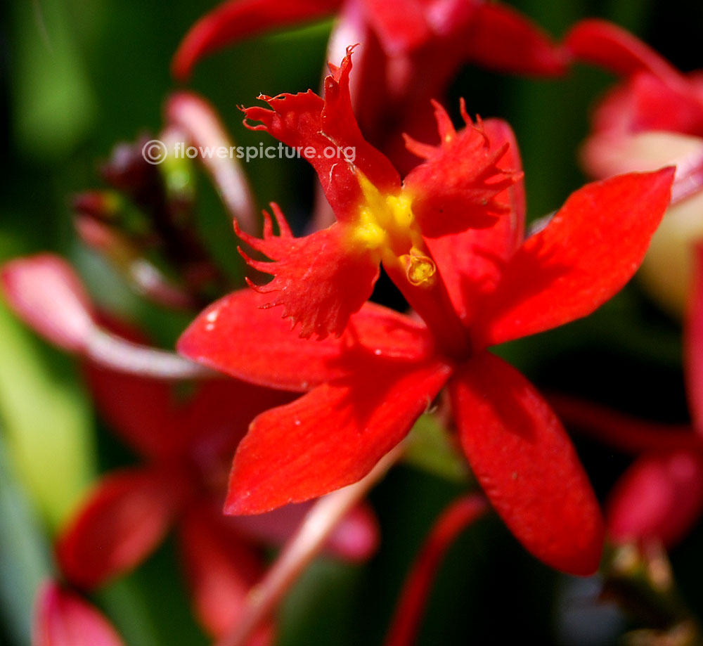 Lavender Color Wallpaper Hd Epidendrum Radicans Fire Star Orchid