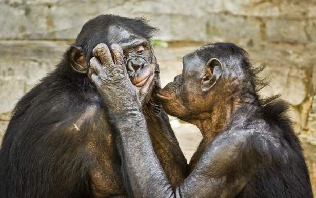 40-foto--video-dnya-23-24102012-dvoe-karlikovyx-shimpanze-bonobo-sledyat-za-lichnoj-gigienoj-drug-u-druga-v-zooparke-v-dzheksonville_17294