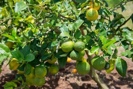 Mediterranean citrus under threat