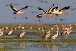 Chilika lake, once a hunter's paradise, is brimming with water birds again