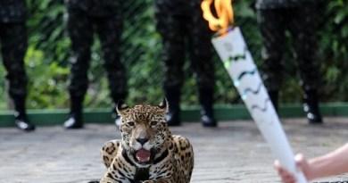 A onça-pintada Juma foi exibida ao lado da Tocha Olímpica durante a passagem do símbolo por Manaus. O animal foi abatido com um tiro de pistola no Centro de Instrução de Guerra na Selva ao tentar escapar do local Ivo Lima/Ministério do Esporte