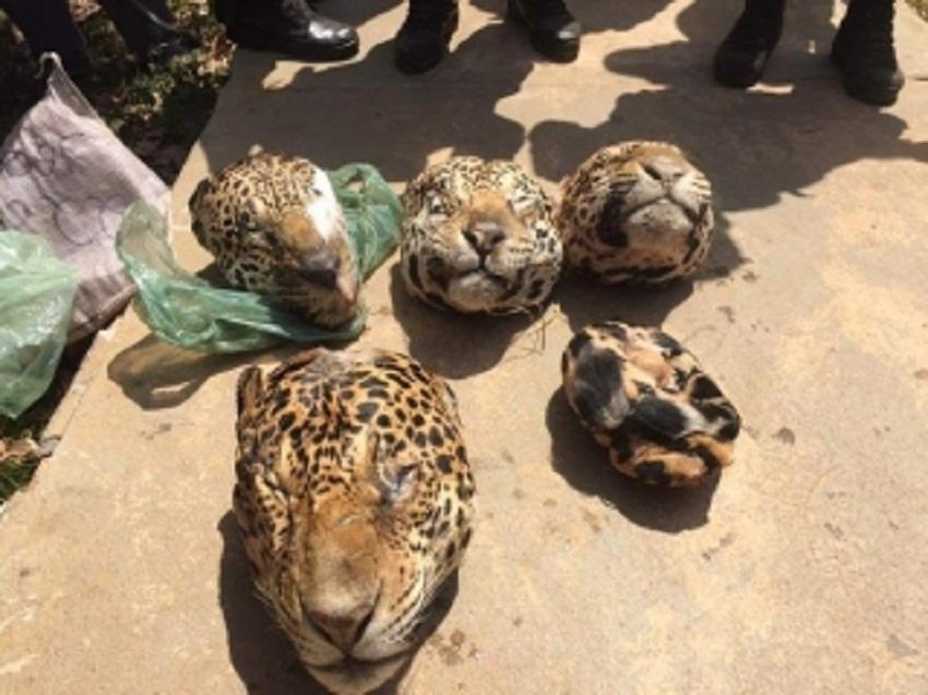 Bando é preso com seis cabeças de onças pintadas em zona rural