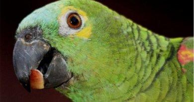 destaque-383944-papagaio