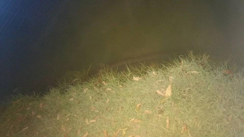 Poraquê (peixe elétrico) no lago chama atenção de populares nas redes sociais