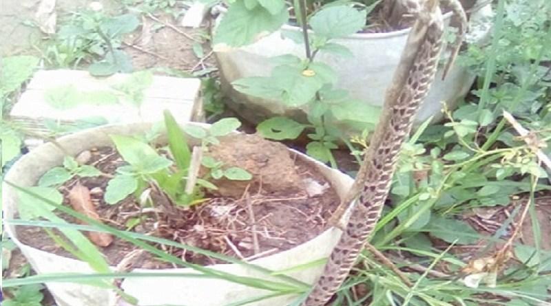 cobra jararaca1