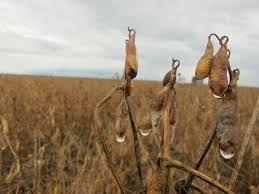 Soja pronta para colheita com agua da chuva.