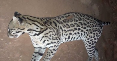 jaguatirica