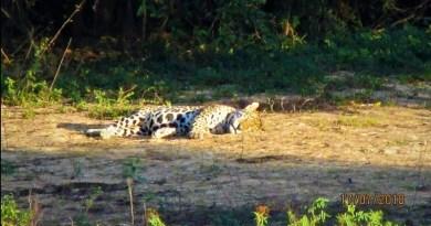 Moradores contam 'causos' após aparição de onça-pintada no centro de cidade no Pantanal de MT
