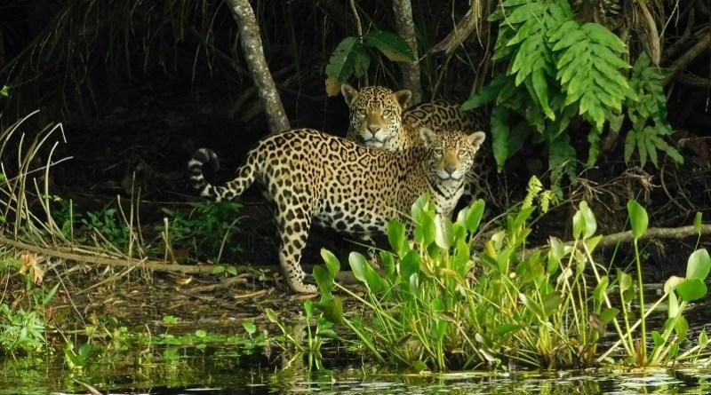Onças-pintadas são flagradas em habitat natural. — Foto: Mario Nelson Cleto/Onçafari