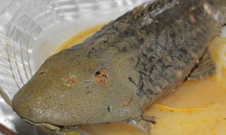 Bodó assado é um dos pratos favoritos dos amazônidas. Foto: Diego Oliveira/Portal Amazônia