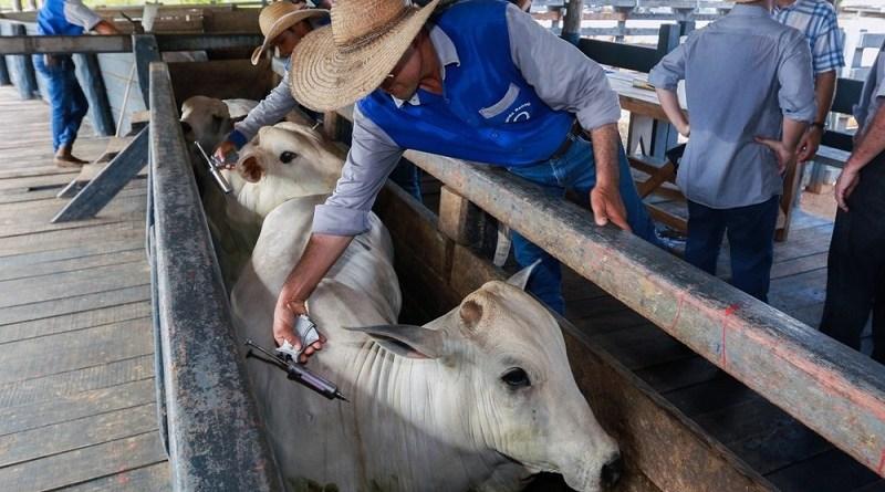 febre aftosa gado
