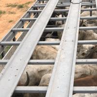 PM recupera 22 cabeças de gado furtadas em Novo Progresso