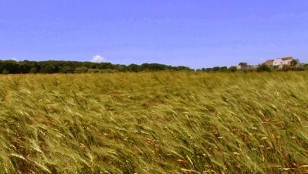 campo-di-grano-con-masseria