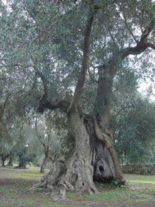 ulivi borgagne santoro
