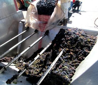 garolla e versamento carico uva