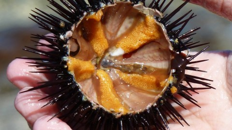 How To Dive For Sea Urchins, And Tips For Eating Them