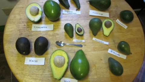 Know Your Avocado Varieties And When They're In Season