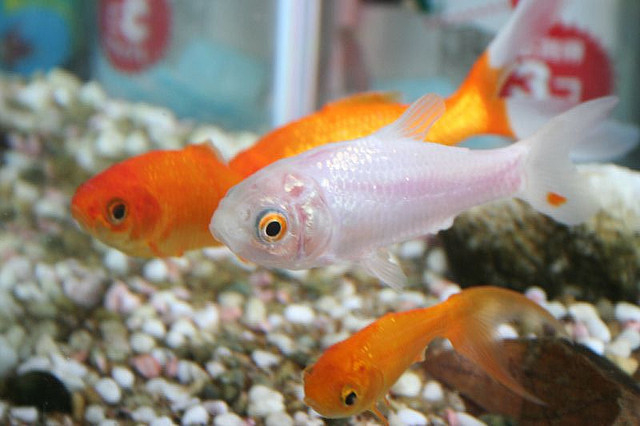 Can you eat a goldfish food republic for Baby koi food