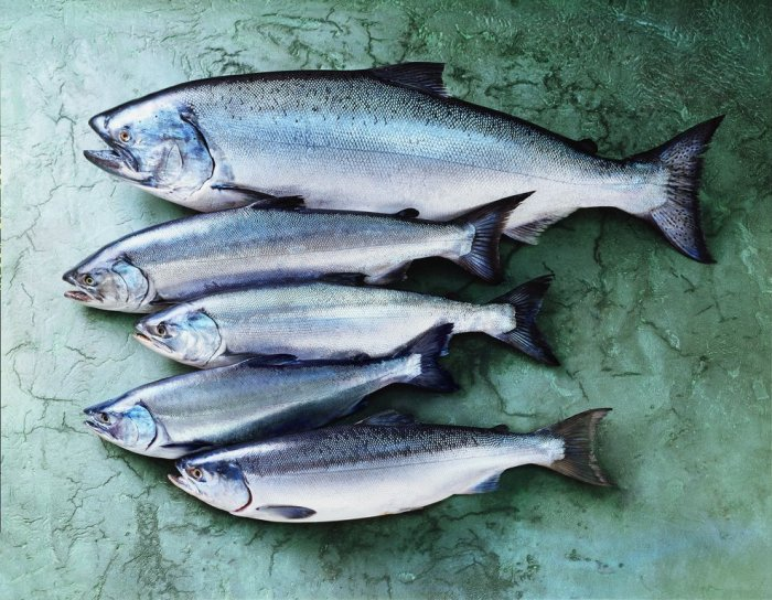 Everything you need to know about wild alaskan salmon for Alaska salmon fishing