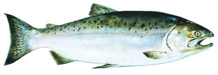 king-alaska-salmon