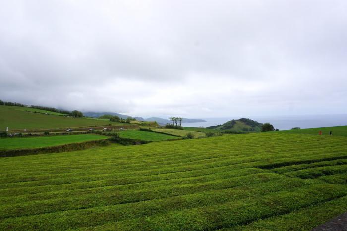 tea plantation azores_jenny Miller
