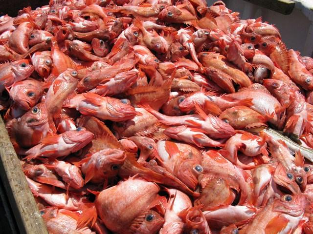 Catch_of_Acadian_redfish