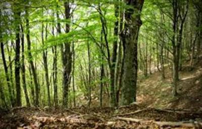 foresta (Custom)