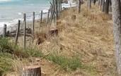 Eraclea-alberi-tagliati-sulla-spiaggia-696x513