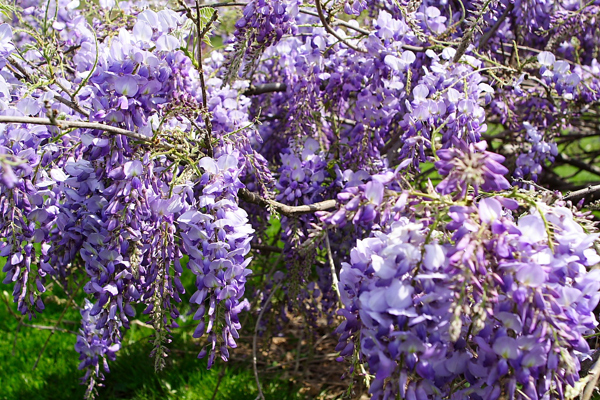 Bush With Purple Flowers In The Spring