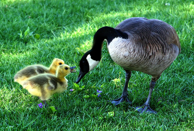canada-goose-and-goslings