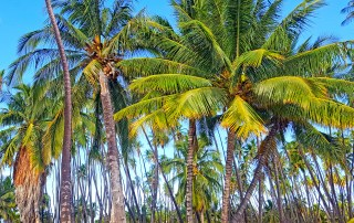 Young coconut trees at Kapuāiwa, Molokai are replacing trees that have lived for more than 150 years, half-century past their average lifespan. This historic grove was planted for King Kamehameha V in the 1960s.