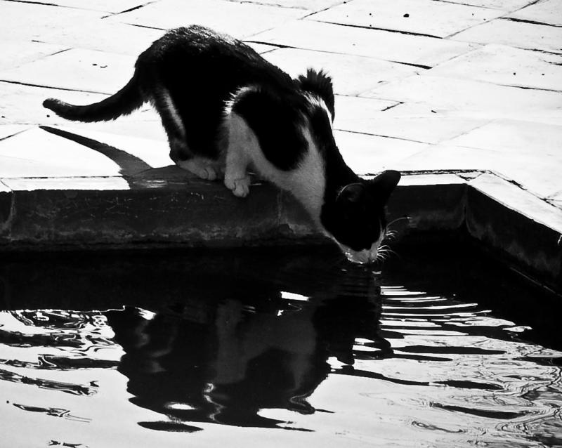 Gato bebiendo (jorge zeballos briones)